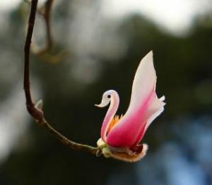 Fiore cigno rid