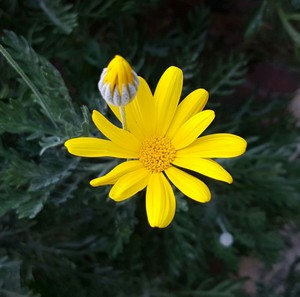 Margherita gialla rid