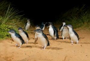 Pinguini rid