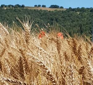 Spighe di grano rid