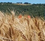 Spighe di grano rid mod